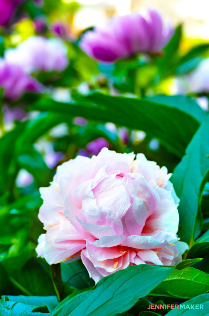 Make crepe paper peony flowers that look real jennifer maker a faux crepe paper peony flower in a real peony bush mightylinksfo