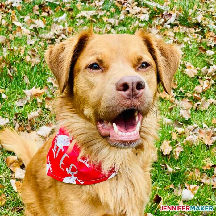 Personalized pet bandanas in red cotton on my golden retriever dog Hunter